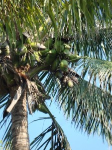 A coconut drupe!